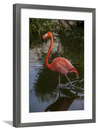 Pink Flamingo, Bavaro, Higuey, Punta Cana, Dominican Republic-Lisa S^ Engelbrecht-Framed Photographic Print