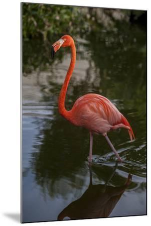 Pink Flamingo, Bavaro, Higuey, Punta Cana, Dominican Republic-Lisa S^ Engelbrecht-Mounted Photographic Print