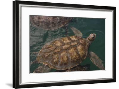 Turtle Farm, Green Sea Turtle, Grand Cayman, Cayman Islands, British West Indies-Lisa S^ Engelbrecht-Framed Photographic Print