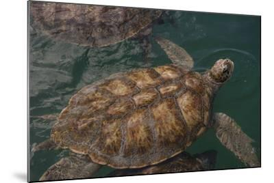 Turtle Farm, Green Sea Turtle, Grand Cayman, Cayman Islands, British West Indies-Lisa S^ Engelbrecht-Mounted Photographic Print