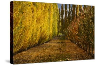 Orchard in Autumn, Ripponvale, Cromwell, Central Otago, South Island, New Zealand-David Wall-Stretched Canvas Print
