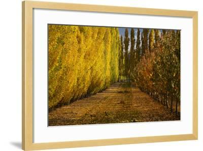Orchard in Autumn, Ripponvale, Cromwell, Central Otago, South Island, New Zealand-David Wall-Framed Photographic Print