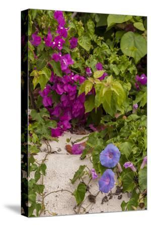 Morning Glory and Bougainvillea Flowers, Princess Cays, Eleuthera, Bahamas-Lisa S^ Engelbrecht-Stretched Canvas Print