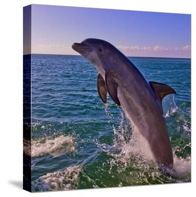 Dolphin Leaping from Sea, Roatan Island, Honduras-Keren Su-Stretched Canvas Print