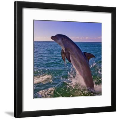 Dolphin Leaping from Sea, Roatan Island, Honduras-Keren Su-Framed Photographic Print