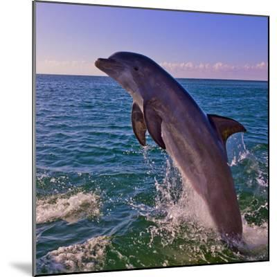 Dolphin Leaping from Sea, Roatan Island, Honduras-Keren Su-Mounted Photographic Print