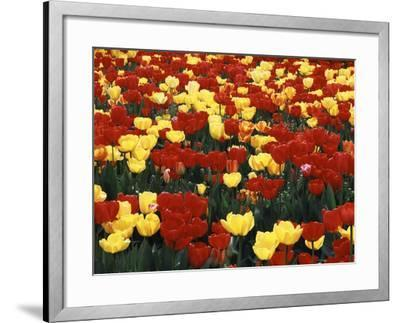 View of Tulip Flowers at Mt. Vernon, Washington State, USA-Stuart Westmorland-Framed Photographic Print