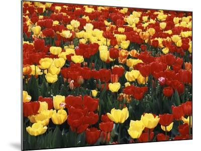 View of Tulip Flowers at Mt. Vernon, Washington State, USA-Stuart Westmorland-Mounted Photographic Print