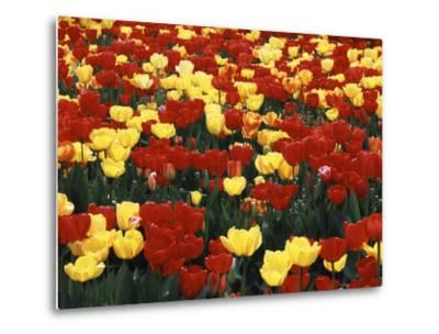 View of Tulip Flowers at Mt. Vernon, Washington State, USA-Stuart Westmorland-Metal Print