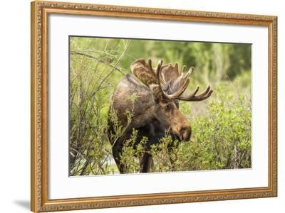 Bull Moose Wildlife Foraging in Grand Teton National Park, Wyoming, USA-Chuck Haney-Framed Photographic Print