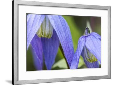 Blue Clematis Flowering in Spring in Bigfork, Montana, USA-Chuck Haney-Framed Photographic Print