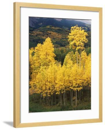 View of Autumn Aspen Grove on Mountain, Telluride, Colorado, USA-Stuart Westmorland-Framed Photographic Print