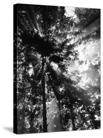 Sunbeam Passing Through Trees, Olympic National Park, Washington State, USA-Adam Jones-Stretched Canvas Print