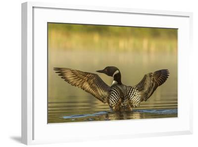 Male Common Loon Bird Drying His Wings on Beaver Lake Near Whitefish, Montana, USA-Chuck Haney-Framed Photographic Print