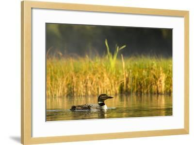 Female Common Loon Bird with Newborn Chick on Beaver Lake, Whitefish, Montana, USA-Chuck Haney-Framed Photographic Print