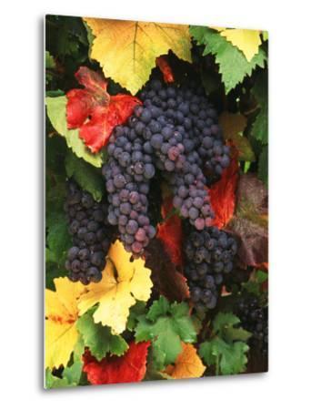 View of Pinot Noir Grape, Willamette Valley, Oregon, USA-Stuart Westmorland-Metal Print