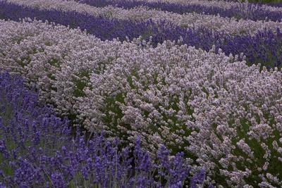 Farm Rows of Lavender in Field at Lavender Festival, Sequim, Washington, USA-John & Lisa Merrill-Framed Photographic Print