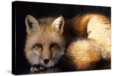 Red Fox Wildlife, New Mexico, USA-Gerry Reynolds-Stretched Canvas Print