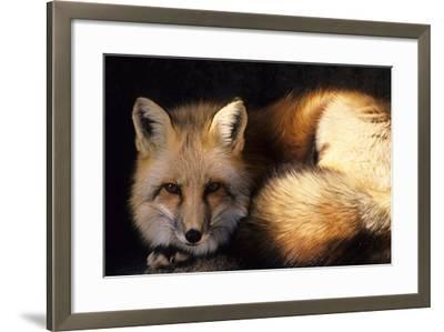 Red Fox Wildlife, New Mexico, USA-Gerry Reynolds-Framed Photographic Print