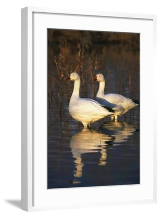 Geese Standing in Pool, Bosque Del Apache National Wildlife Refuge, New Mexico, USA-Hugh Rose-Framed Photographic Print