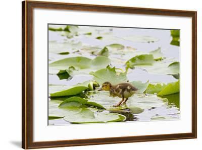 Mallard Duck, Duckling Wildlife, Juanita Bay Wetland, Washington, USA-Jamie & Judy Wild-Framed Photographic Print