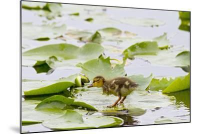 Mallard Duck, Duckling Wildlife, Juanita Bay Wetland, Washington, USA-Jamie & Judy Wild-Mounted Photographic Print