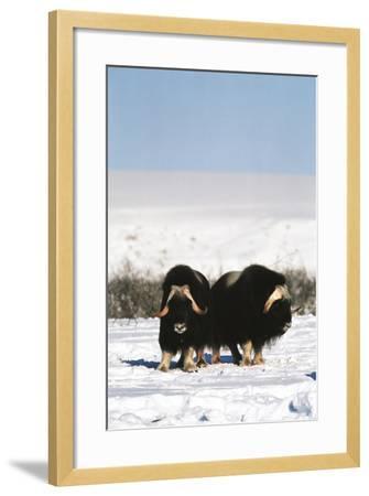 Musk Ox Bull Wildlife, Arctic National Wildlife Refuge, Alaska, USA-Hugh Rose-Framed Photographic Print