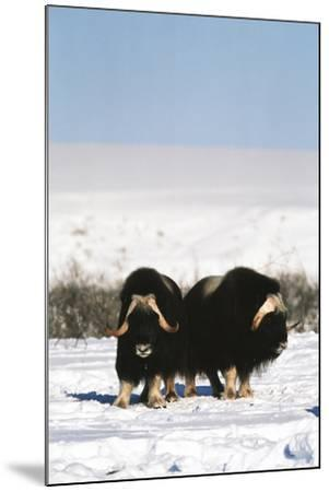 Musk Ox Bull Wildlife, Arctic National Wildlife Refuge, Alaska, USA-Hugh Rose-Mounted Photographic Print