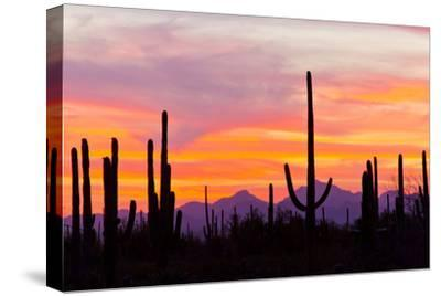 Saguaro Forest, Sonoran Desert, Saguaro National Park, Arizona, USA--Stretched Canvas Print