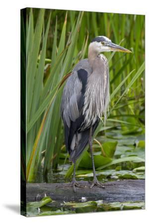 Great Blue Heron Bird, Juanita Bay Wetland, Washington, USA-Jamie & Judy Wild-Stretched Canvas Print