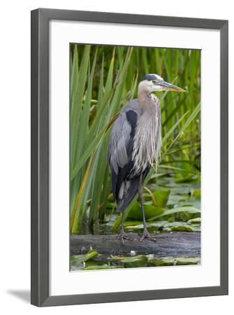 Great Blue Heron Bird, Juanita Bay Wetland, Washington, USA-Jamie & Judy Wild-Framed Photographic Print