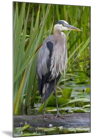 Great Blue Heron Bird, Juanita Bay Wetland, Washington, USA-Jamie & Judy Wild-Mounted Photographic Print