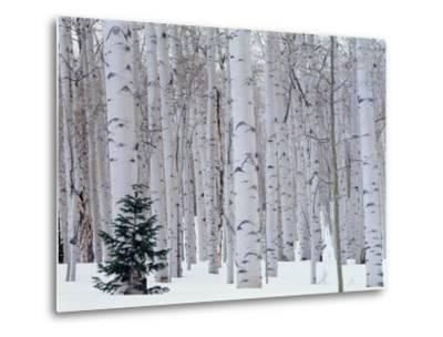 Aspen and Douglas Fir, Manti-Lasal National Forest, La Sal Mountains, Utah, USA-Scott T^ Smith-Metal Print