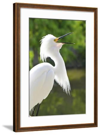Snowy Egret Bird, Everglades, Florida, USA-Michael DeFreitas-Framed Photographic Print