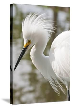 Snowy Egret Bird, Everglades, Florida, USA-Michael DeFreitas-Stretched Canvas Print