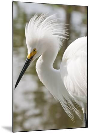 Snowy Egret Bird, Everglades, Florida, USA-Michael DeFreitas-Mounted Photographic Print