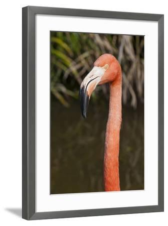 American Flamingo Bird, Gatorland Orlando, Florida, USA-Michael DeFreitas-Framed Photographic Print