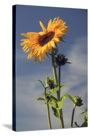 Sunflowers, Hood River, Oregon, USA-Michel Hersen-Stretched Canvas Print
