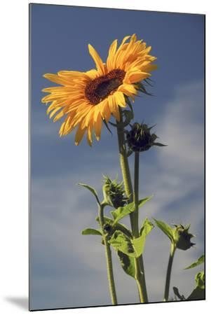 Sunflowers, Hood River, Oregon, USA-Michel Hersen-Mounted Photographic Print