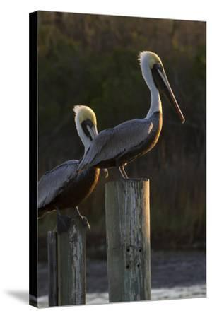 Brown Pelican Bird Sunning on Pilings in Aransas Bay, Texas, USA-Larry Ditto-Stretched Canvas Print