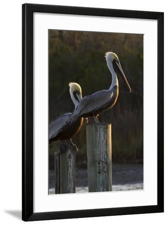 Brown Pelican Bird Sunning on Pilings in Aransas Bay, Texas, USA-Larry Ditto-Framed Photographic Print