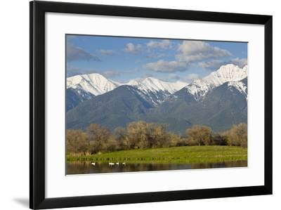 Trumpeter Swan Birds in Pond, Mission Mountain Range, Ninepipe, Ronan, Montana, USA-Chuck Haney-Framed Photographic Print