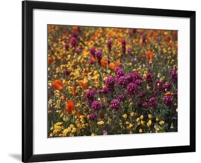 Owl's Clover, Coreopsis, California Poppy Flowers at Antelope Valley, California, USA-Stuart Westmorland-Framed Photographic Print