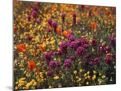Owl's Clover, Coreopsis, California Poppy Flowers at Antelope Valley, California, USA-Stuart Westmorland-Mounted Photographic Print
