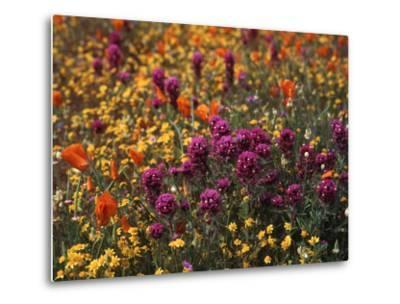 Owl's Clover, Coreopsis, California Poppy Flowers at Antelope Valley, California, USA-Stuart Westmorland-Metal Print