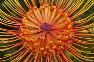 Protea Flower, Kula Botanical Garden, Upcountry, Maui, Hawaii, USA-Douglas Peebles-Premium Photographic Print