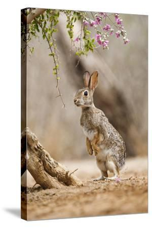 Eastern Cottontail Rabbit, Wildlife, Feeding on Blooms of Native Plants-Larry Ditto-Stretched Canvas Print