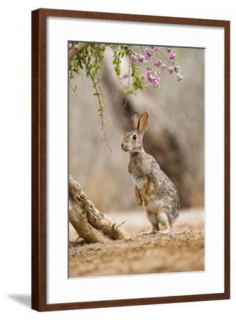 Eastern Cottontail Rabbit, Wildlife, Feeding on Blooms of Native Plants-Larry Ditto-Framed Photographic Print
