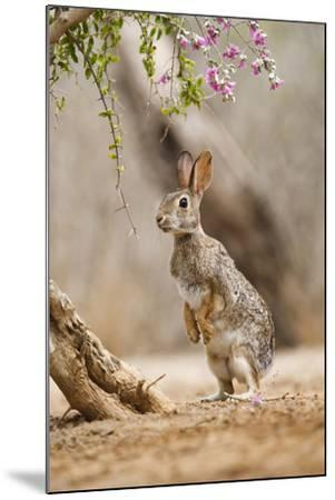 Eastern Cottontail Rabbit, Wildlife, Feeding on Blooms of Native Plants-Larry Ditto-Mounted Photographic Print