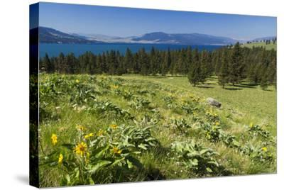 Arrowleaf Balsamroot Blooming on Wild Horse Island State Park, Montana, USA-Chuck Haney-Stretched Canvas Print